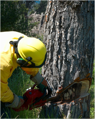 boise valley tree trimming tree removal